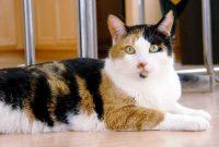 Harga Kucing 3 Warna Jantan Update 2022